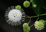 Sabrina L Ryan - Buttonbush Flowers