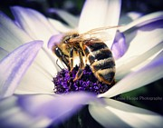 Senetti Photo Posters - Buzz Wee Bees Poster by Lessie Heape