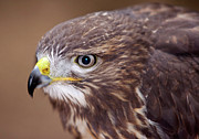 Buzzard Metal Prints - Buzzard - Detail Of The Head Metal Print by Michal Boubin