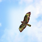 Vulture Photos - Buzzard In Flight by Marcel ter Bekke