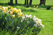 Floral Gardens Prints - Byrd Lane Daffodils Print by Jan Amiss Photography