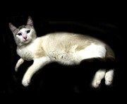 Feline Digital Art - C-A-T in Repose  by Peter Piatt