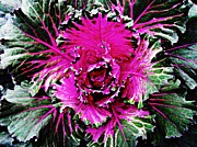 Ornamental Plants Prints - Cabbage 2 Print by Sarah Loft