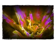 Uplifted Prints - Cabbage Crown Print by Judi Bagwell