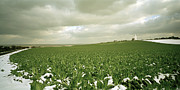 The Agricultural Life Prints - Cabbage field in Kent in England Print by Shaun Higson