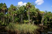 Pasco County Prints - Cabbage Palms along the Cotee River Print by Barbara Bowen