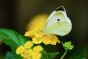Blooms  Butterflies Photo Framed Prints - Cabbage White Butterfly Framed Print by Betty LaRue