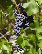 Wine Grapes Prints - Cabernet Print by Kurt Van Wagner