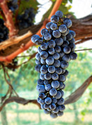 Purple Grapes Prints - Cabernet Sauvignon Print by Robert Bales
