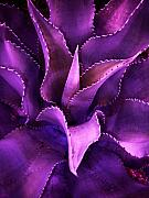 Aloe Framed Prints - Cacti Flow in Amethyst Framed Print by Sally Siko