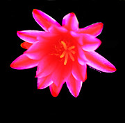 Schlumbergera Prints - Cactus Bloom Print by Cheryl Young
