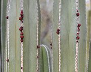 Flower Buds Prints - Cactus Buds Print by Rebecca Margraf