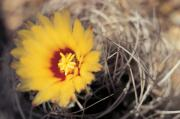 Yellow Cactus Flower Photos - Cactus Flower by American School