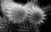 Prickers Photos - Cactus Spines by Phyllis Denton