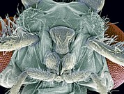 Biting Posters - Caddisfly Head, Sem Poster by Steve Gschmeissner
