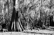 Black_and_white Posters - Caddo Lake 1 Poster by Gayle Johnson