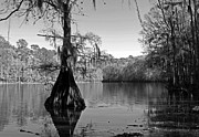 Black_and_white Posters - Caddo Lake 5 Poster by Gayle Johnson