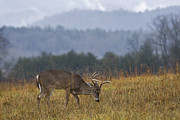 Deer Prints - Cades Cove White-tail - D007884 Print by Daniel Dempster