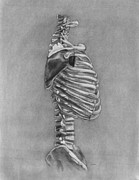 Human Skeleton Drawings - Cage by Diane Kraus