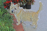Cairn Terrier Photos - Cairn Terrier On The Patio by Barbara Dean