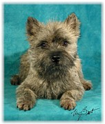 Brindle Digital Art Prints - Cairn Terrier Pup Print by Maxine Bochnia