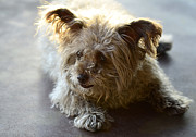 Little Dogs Prints - Cairn Terrier  Print by Saija  Lehtonen