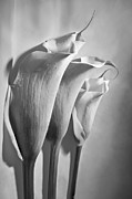 Cala Flower Framed Prints - Cala Lilies in B and W Framed Print by Monte Arnold