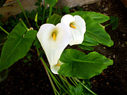Flowers Pyrography Prints - Cala Lily Print by The Kepharts
