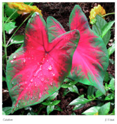 Shower Digital Art - Caladium by Joseph Vittek
