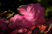 Dappled Light Posters - Caladium Mystery Poster by Suzanne Gaff