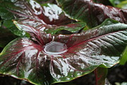 Theresa Willingham Metal Prints - Caladium Puddle Metal Print by Theresa Willingham