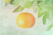 Hanging Posters - Calamondin Miniature Orange Poster by Peter Chadwick LRPS