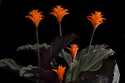Orange Originals - Calathea Crocate by Terence Davis