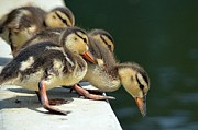 Baby Mallards Posters - Calculating The Odds Poster by Fraida Gutovich