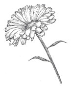 Pointillism Drawings Posters - Calendula Poster by Christy Beckwith