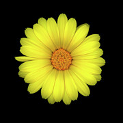 High Resolution Prints Prints - Calendula Five Print by Christopher Gruver