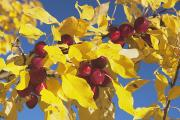 Yellow Leaves Framed Prints - Calgary, Alberta, Canada Crab Apples On Framed Print by Michael Interisano