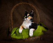 Calico Framed Prints - Calico Cat in Basket Framed Print by Jai Johnson