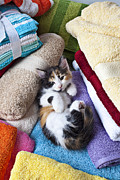 Furry Animals Posters - Calico kitten on towels Poster by Garry Gay