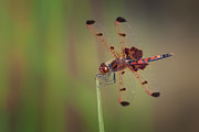 Bugs Photos - Calico Pennant by Jeremy Martin