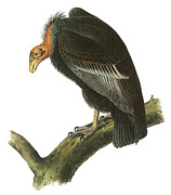 Condor Prints - California Condor Print by John James Audubon