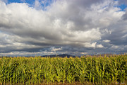 Sweet Corn Farm Prints - California Cornfield Print by Heidi Smith