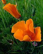 California Poppy Framed Prints - California Happy Cow Fodder Framed Print by Everett Bowers