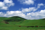 Landscape Greeting Cards Framed Prints - California Hills with Cows Framed Print by Kathy Yates