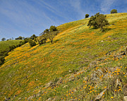 California Art - California Mountain Poppies by Gregory Scott