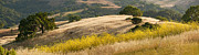 Raven Photos - California Mustard Panorama by Matt Tilghman