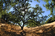 Lafayette Prints - California Oaks Print by Donna Blackhall
