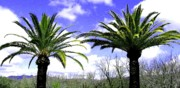 Napa Valley Photos - California Palms by Will Borden