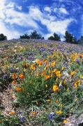 Lupins Framed Prints - California Poppies And Lupins On A Hill Framed Print by James Forte