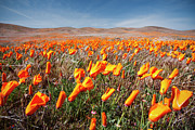 Oriental Poppy. Framed Prints - California Poppies Framed Print by Ben Neumann